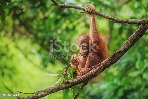 Image taken of a wild orangutan baby, in a nature reserve in Borneo.