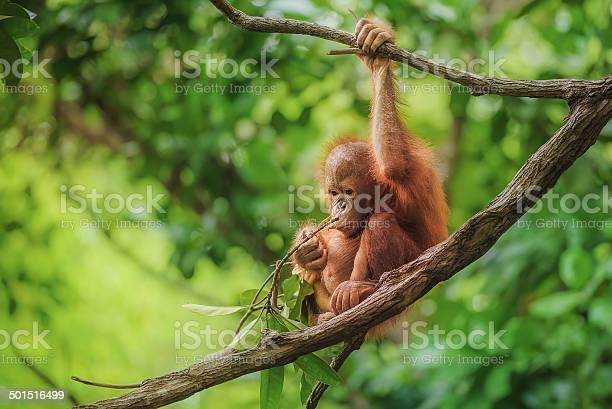 Baby Orangutan In Borneo Stock Photo - Download Image Now