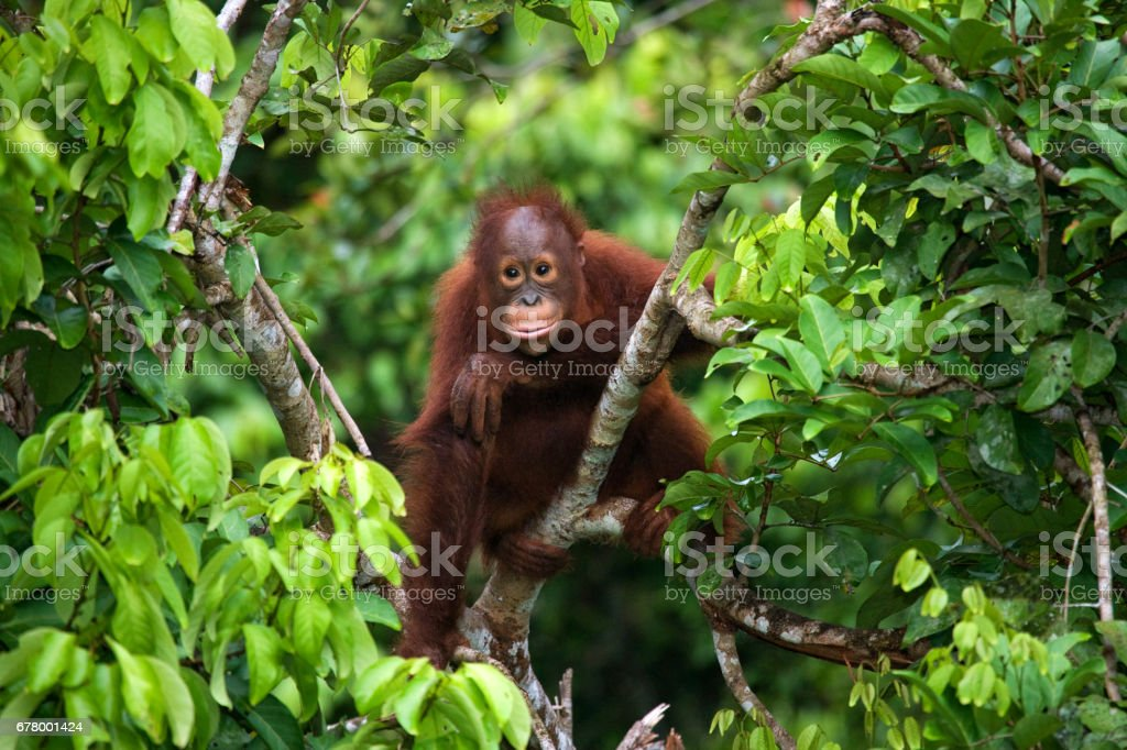 A baby orangutan in the wild. stock photo