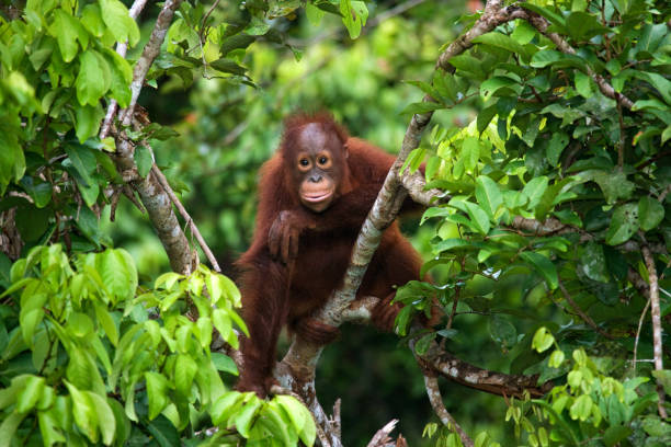 A baby orangutan in the wild. A baby orangutan in the wild. Indonesia. The island of Kalimantan (Borneo). An excellent illustration. orangutan stock pictures, royalty-free photos & images