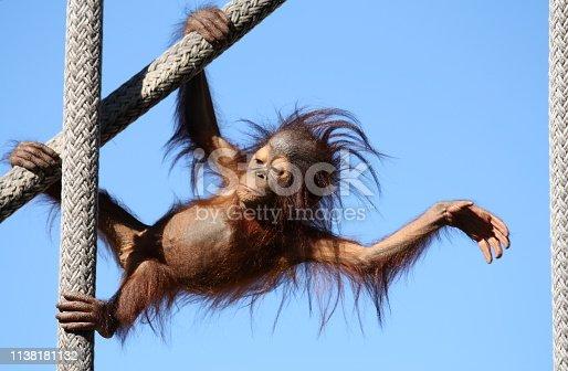 Orangutan baby and toddler