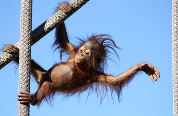baby orangutan - zoo stock pictures, royalty-free photos & images