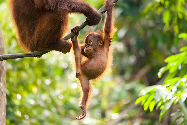 Baby Orangutan Playing A baby orangutan playing on a rope and looking at its mother. island of borneo stock pictures, royalty-free photos & images