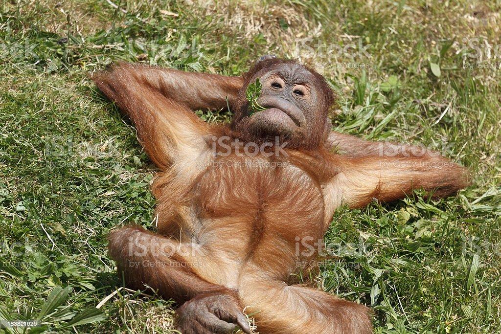 Baby Orangutan Relaxing stock photo