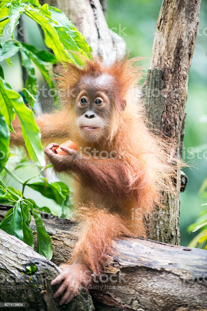 Baby Orangutan sits in the trees and eats stock photo