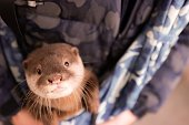 Japanese owner loves Asian small-clawed otter from Indonesia as pet.