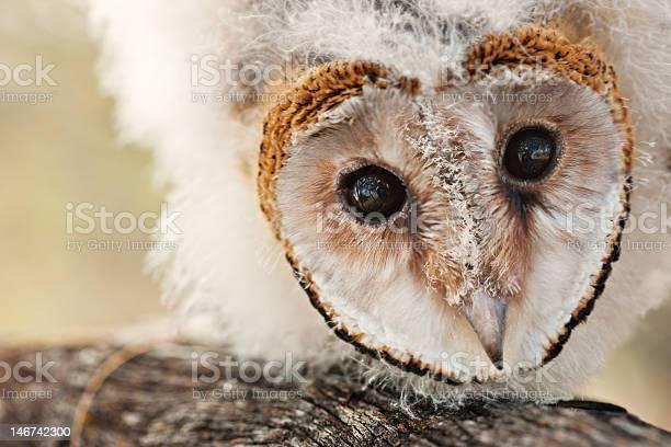 Baby owl chick picture id146742300?b=1&k=6&m=146742300&s=612x612&h=h6dxhnpnwbcdcw14vhziqn22zw7xqvtvx3ln 7hmq2m=