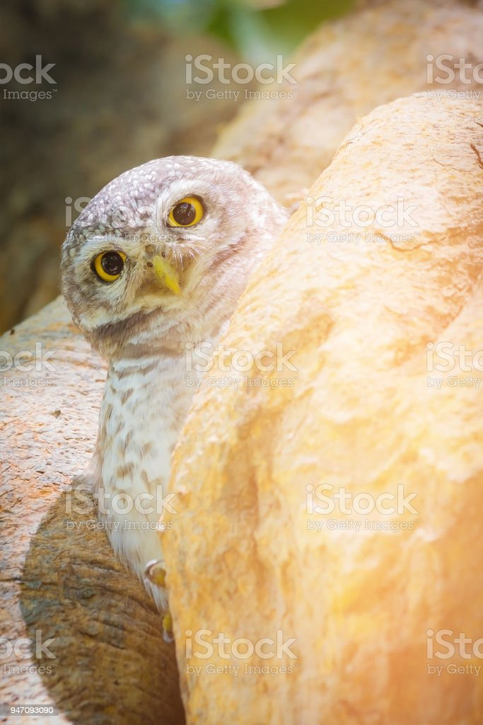 Baby owl hire on tree hole stock photo
