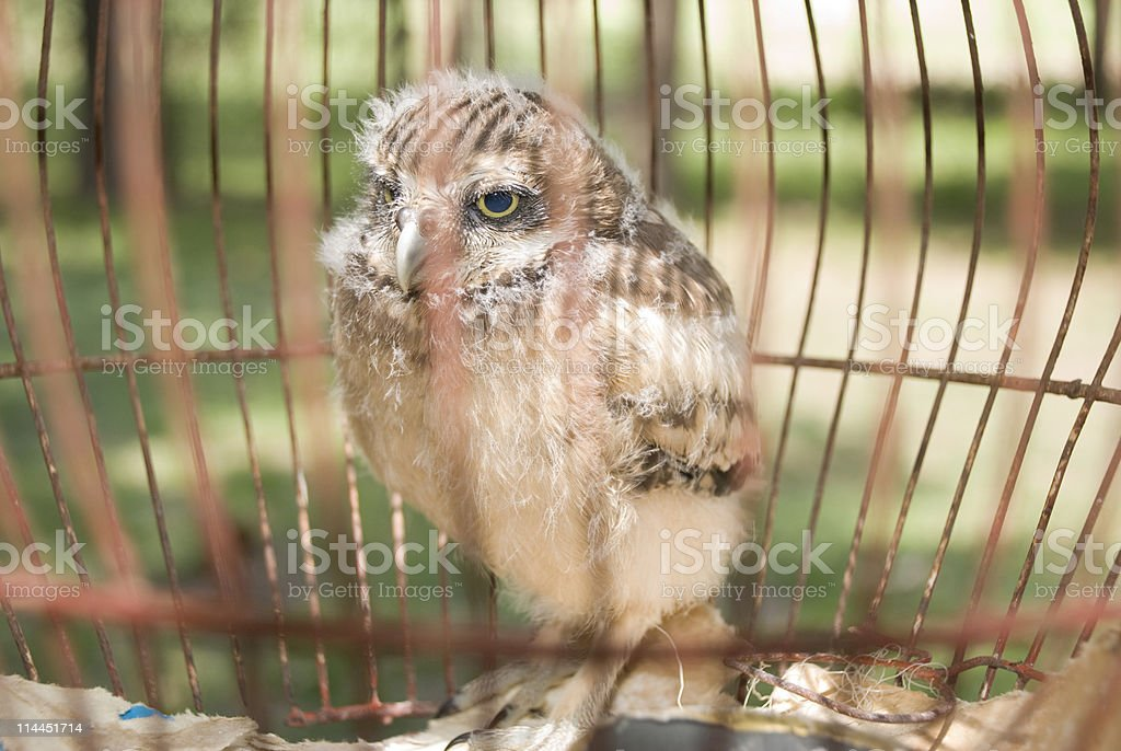 Baby Owl in a Cage stock photo