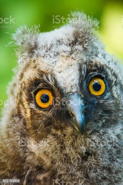Baby owl picture id503193059?b=1&k=6&m=503193059&s=612x612&h=kk1umf m4aw3dzczvktber5 2mndejnfwcy4wbsyfe0=