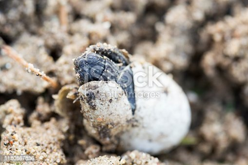 A Painted Turtle baby is hatching from the egg.