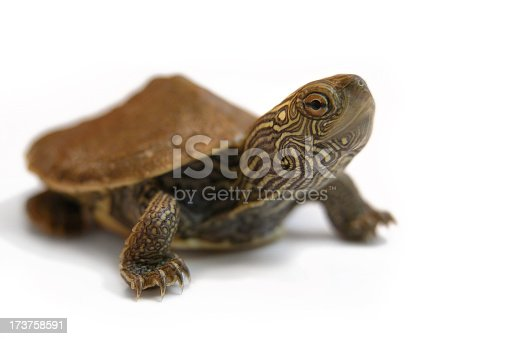 Macro image of a tiny baby painted turtle. He seems to be making eye contact with the camera. He is sticking his neck out and on the move. Studio image shot on a white background.