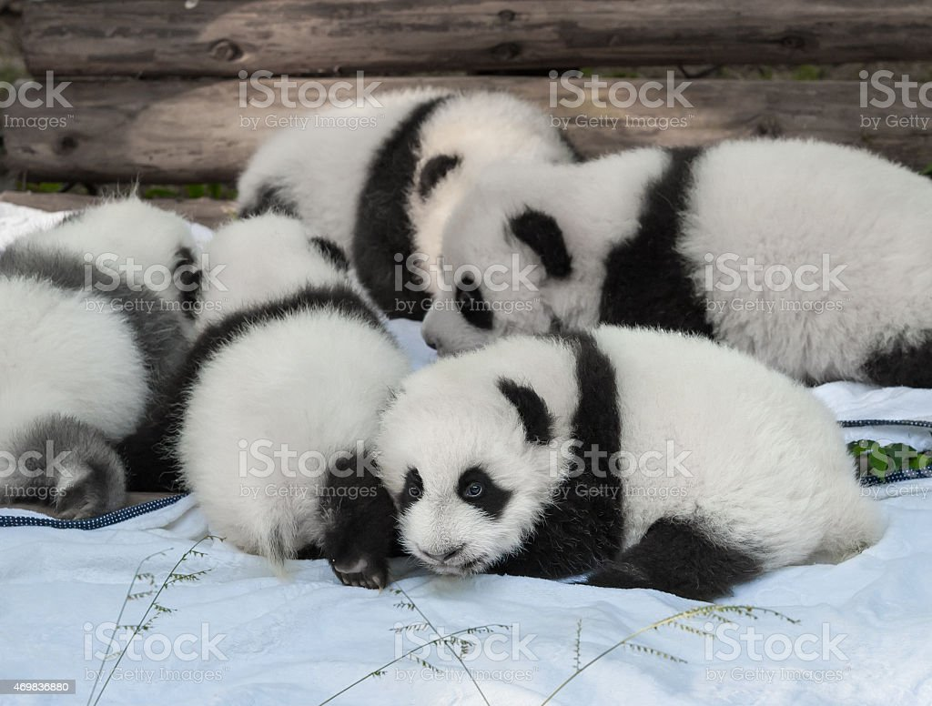 Baby panda bears Baby panda bears together 2015 Stock Photo