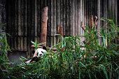 Cute big panda sit on floor holds bamboo and eat branch cartoon animal design flat vector illustration.
