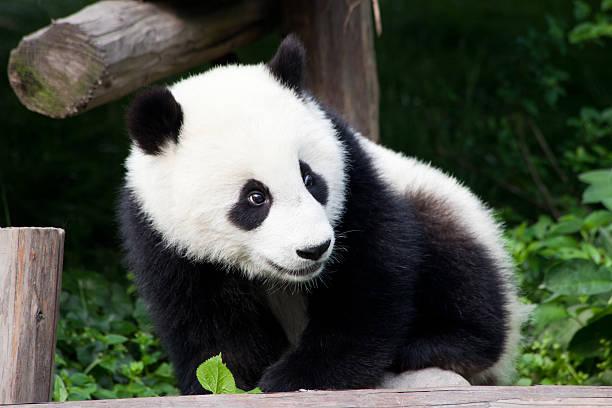 Baby Panda of China - Chengdu, Sichuan Province stock photo