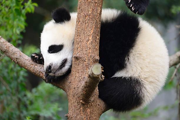 baby panda – Foto