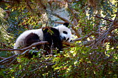 Cute illustration of funny baby panda sleeping on a tree. Vector 8 EPS