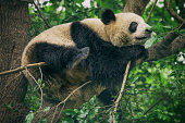 Baby panda resting on a tree  in Ya'an,, Sichuan,, China