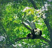 Adorable giant panda bear sleeping