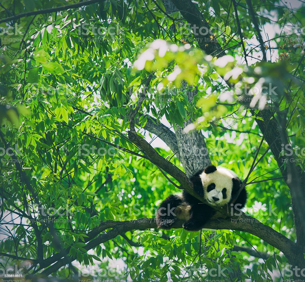 Baby panda resting on a tree stock photo