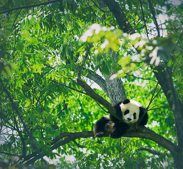 bébé panda reposant sur un arbre - panda photos et images de collection