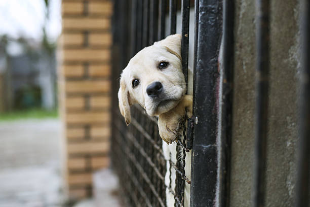 Baby pappy white labrador in cage stock photo