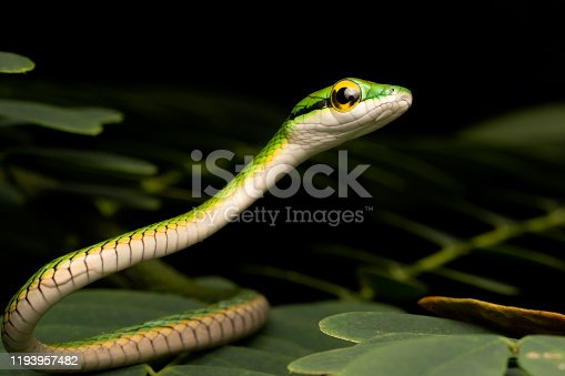 Baby Parrot Snake in Costa Rican Rainforest