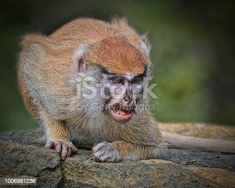 This is my capture of a baby Patas Monkey on guard.