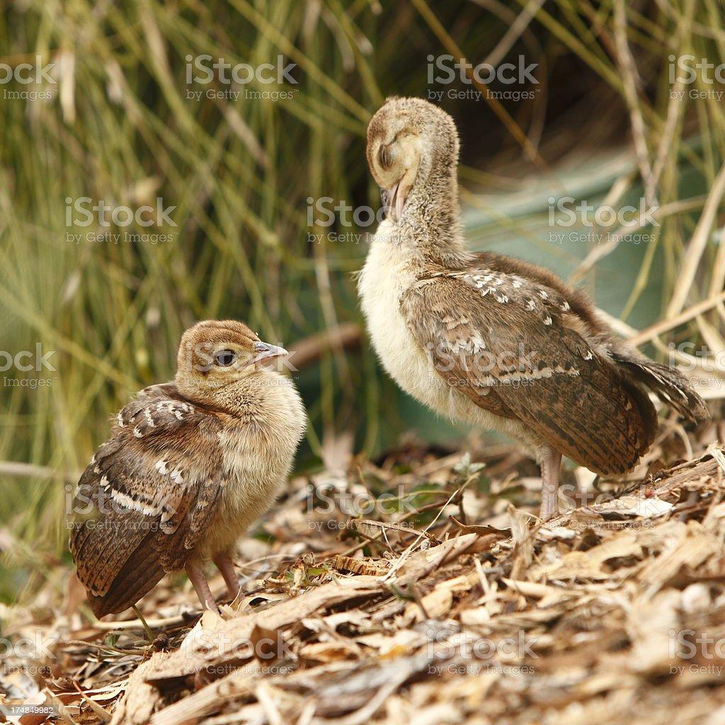 Baby Peacocks royalty-free stock photo