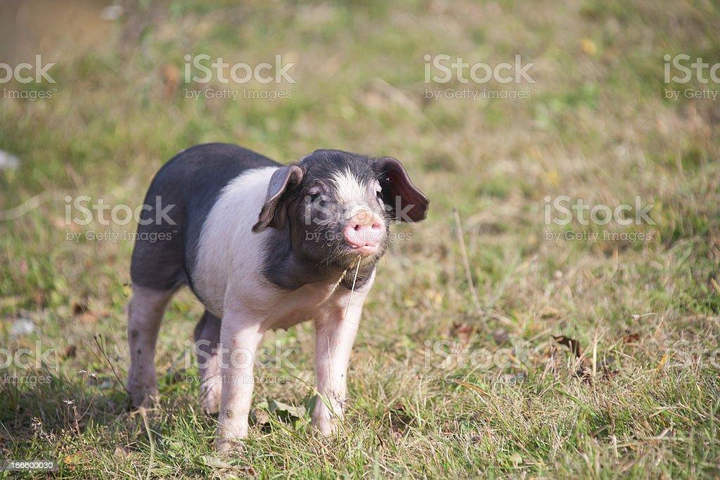 Baby Pig royalty-free stock photo