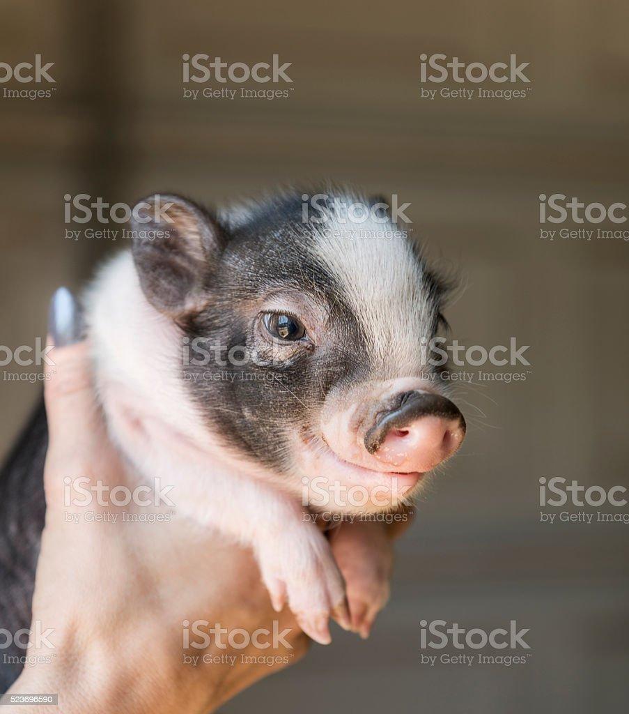 Baby Piglet stock photo