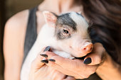 Pet baby pig being held by human hand.