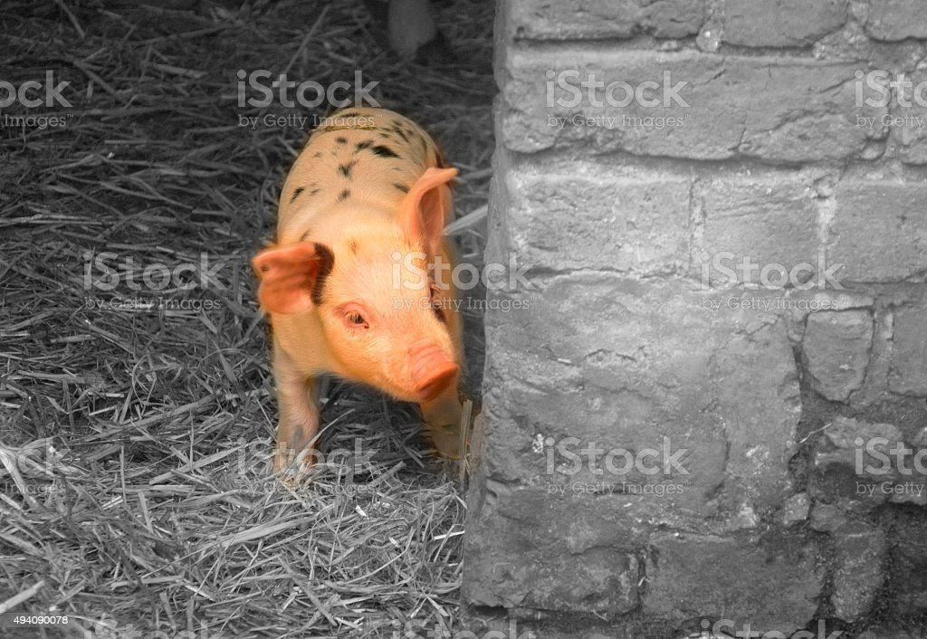 Baby piglet pig stock photo