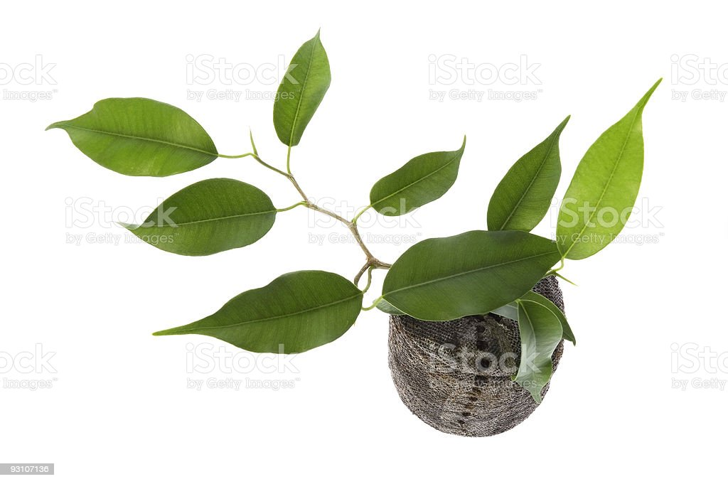 baby plant. ficus royalty-free stock photo