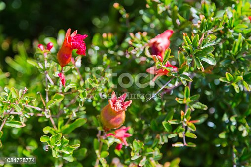 Baby Pomegranate on Tree