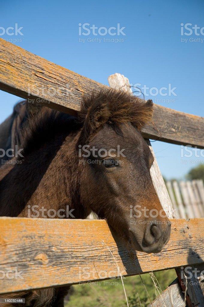 Baby Pony royalty-free stock photo