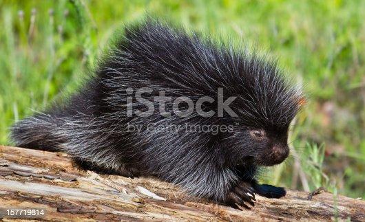 North American Porcupine , Juvenile