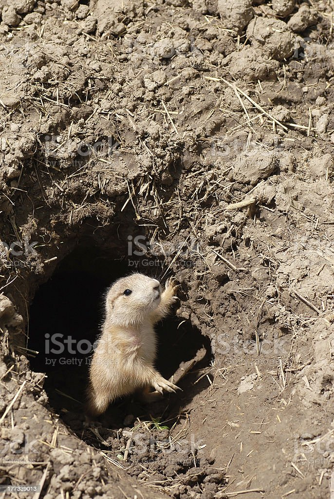 baby prairie dog royalty-free stock photo