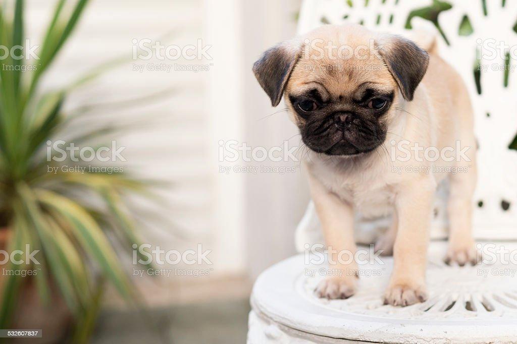 Baby Pug Stock Photo Download Image Now Istock