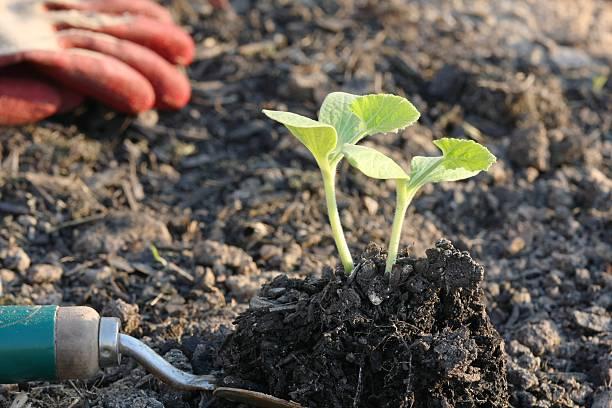 baby pumpkin plants stock photo