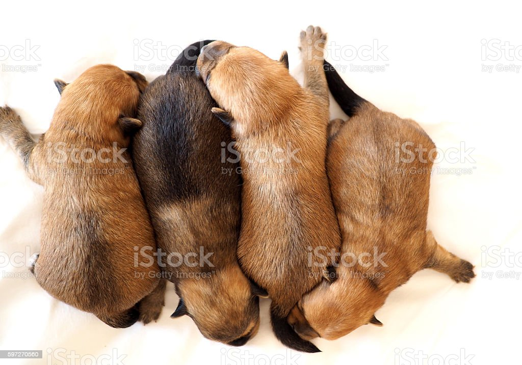 Baby puppies on white background royalty-free stock photo
