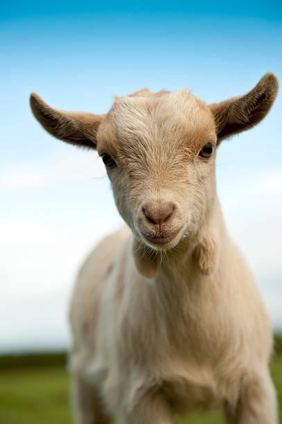 Baby Pygmy Goat stock photo