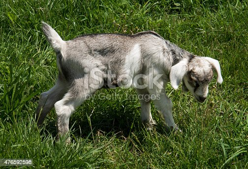Gray and white baby pygmy goat on background of grass