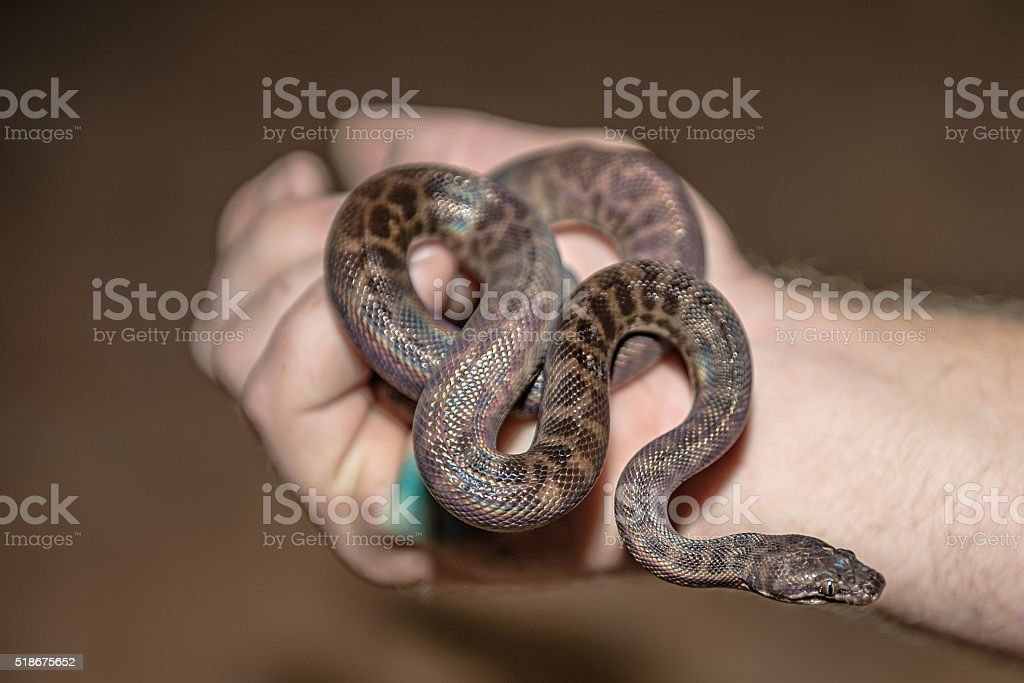 Baby python coiled in hand stock photo