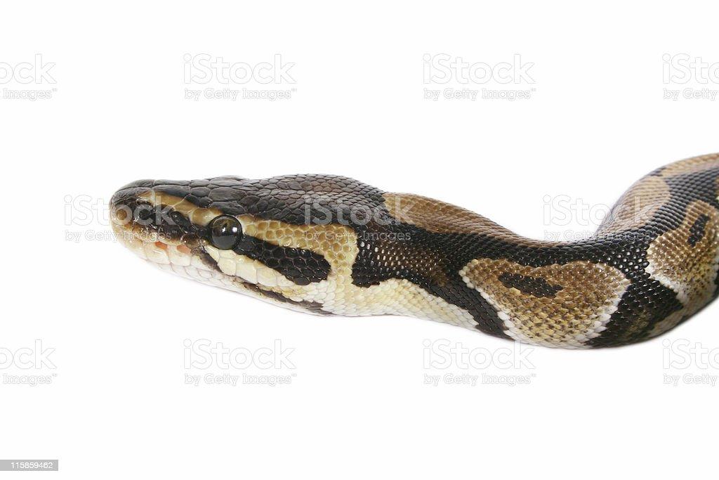 Baby Python royalty-free stock photo