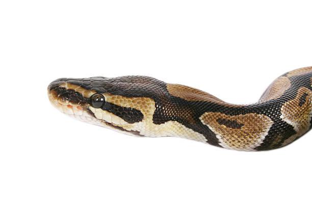 Baby Pythonleder – Foto