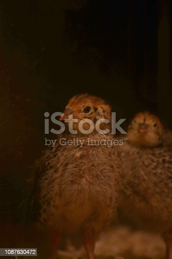 Animal, Bird, Eating, Egg, Food, Farm, Chick