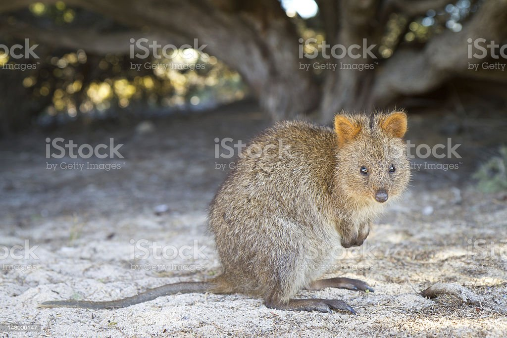 Baby Quokka (Setonix brachyurus) on Rottnest Island, Western Australia stock photo
