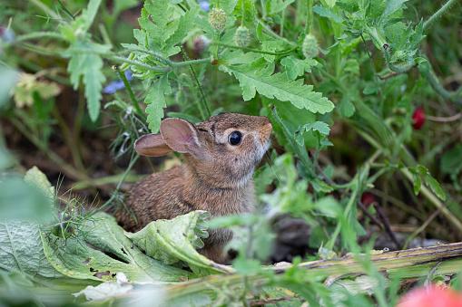 A wild baby rabbit feeding on herbs in a garden,