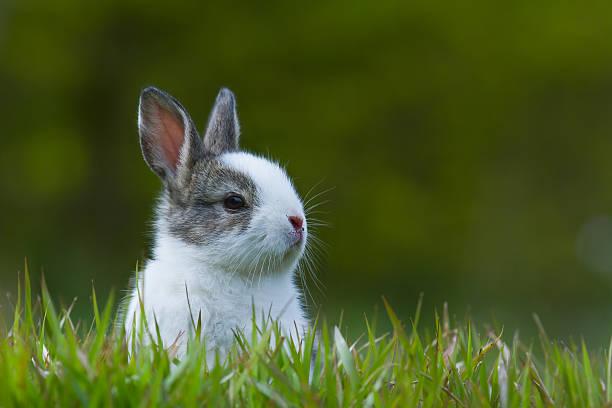Lapereau en herbe - Photo